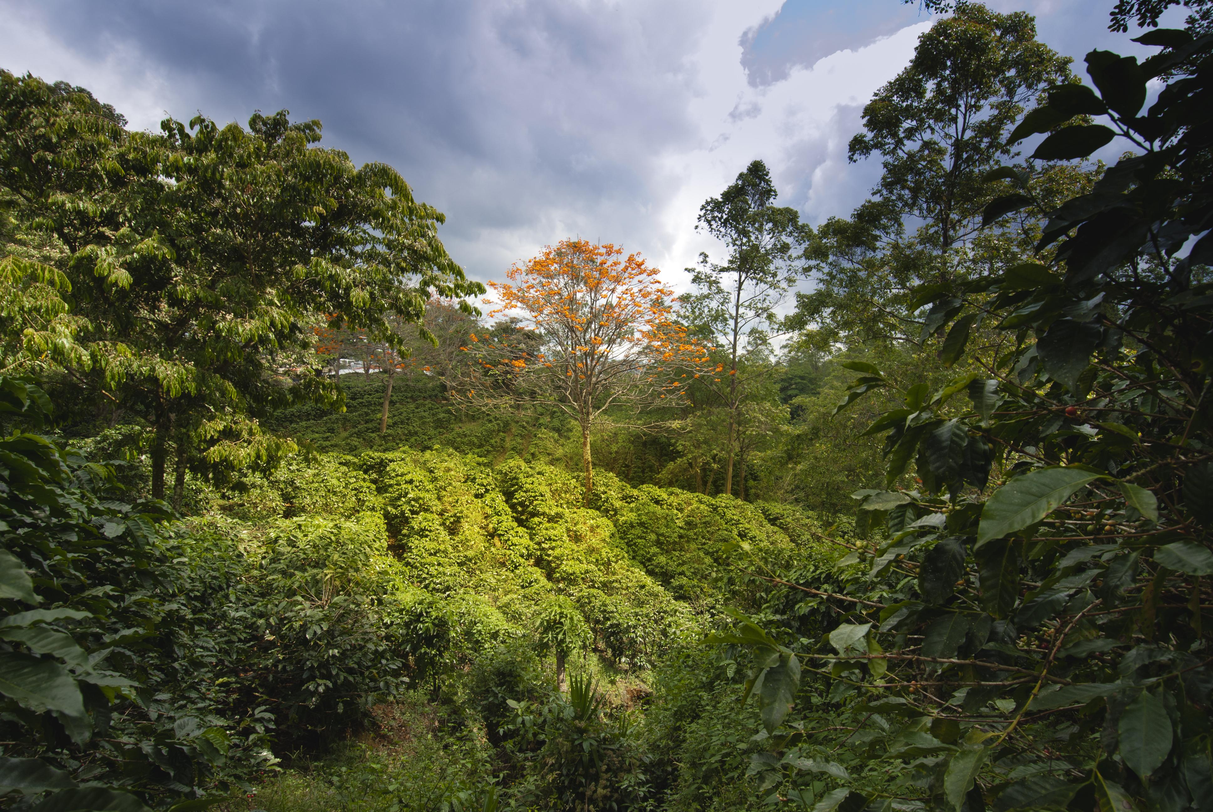 Piping Rock Arturo Rudolfo Coffee Collection - Costa Rican Premium Arabica